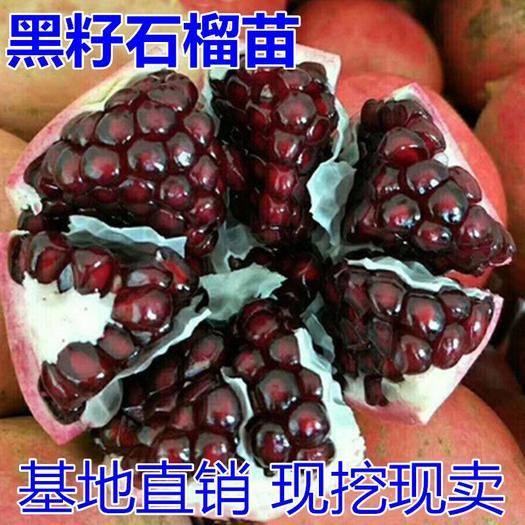 临沂平邑县 石榴树苗红皮黑籽大石榴苗 黑籽甜宝石榴结果苗南北方盆栽地栽