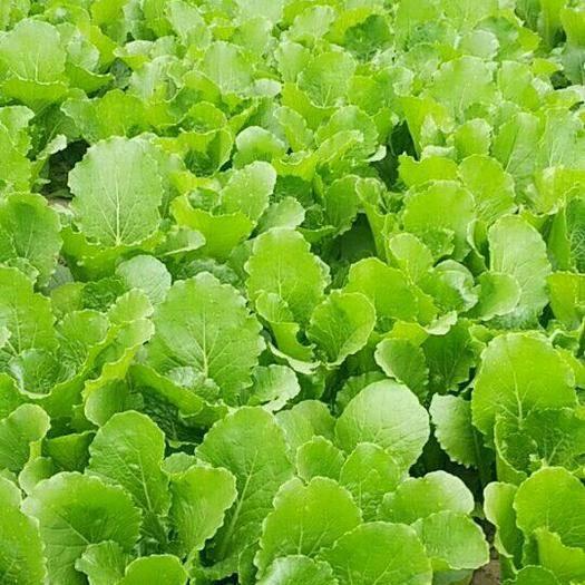 河北省保定市清苑区红菜苔 菜心