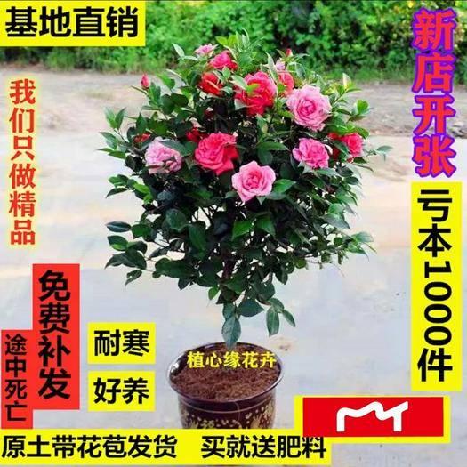 临沂平邑县 矮化盆景茶花苗 四季开花 精品花奔苗