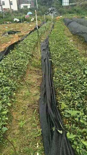 玉林北流市 大量供应白肉粉质土茯苓苗,易管理,经济效益高!