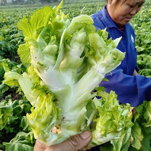 四川省成都市简阳市早熟儿菜 1.0~1.5斤