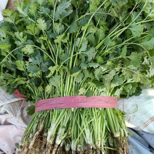 河北省沧州市肃宁县 铁杆青香菜过冬大量上市自己种的三百亩