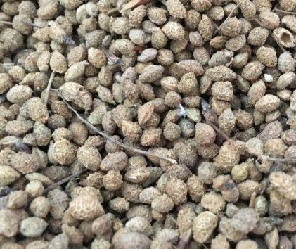 武威古浪县花棒种子 化棒种子有需要的老板联系,一等品