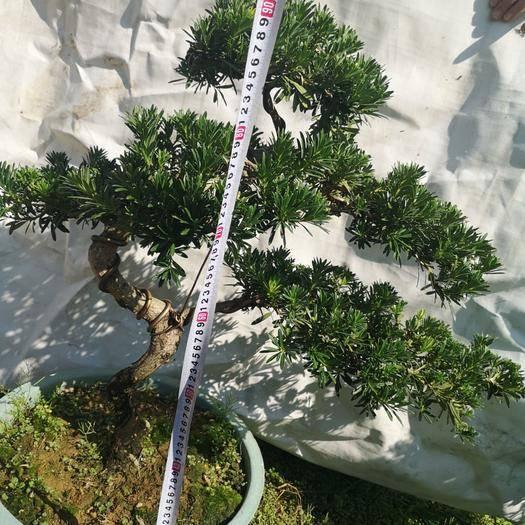漳州龍海市造型羅漢松 羅漢松造型盆景,8年樹齡,大批精品新貨任意挑,量大從優。