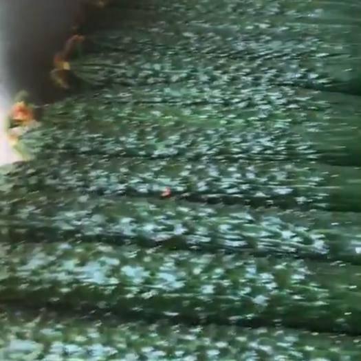 临沂兰陵县 大棚亮条黄瓜大量上市,基地种植,质量保证,价格便宜