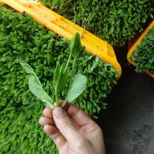 广汉市豌豆苗 精品!广汉最好的豌豆尖!我敢说我的豌豆尖第二没人敢说第一!