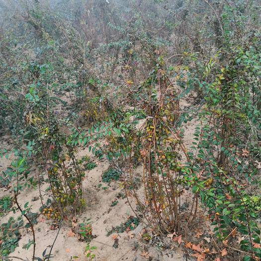 保定定州市药用连翘苗 丛生华北连翘,保质保量。