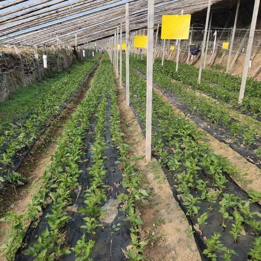河南省开封市禹王台区 每天都有大量出售新鲜紫苏叶