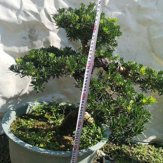 漳州龍海市造型羅漢松 造型盆景,移植盆栽,大量精品現貨任意挑,8年樹齡。
