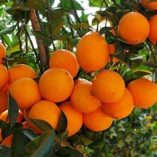 临沂平邑县 赣南脐橙树苗 品种正宗 包品种 死苗补发