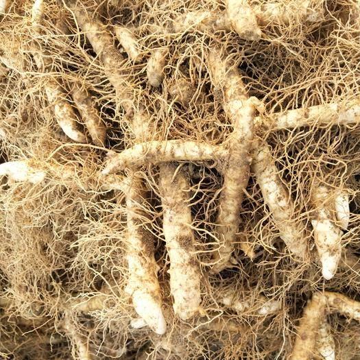 隆回縣 湖南,尾叁,玉竹種莖,產量高,易管理,畝產10000斤以上