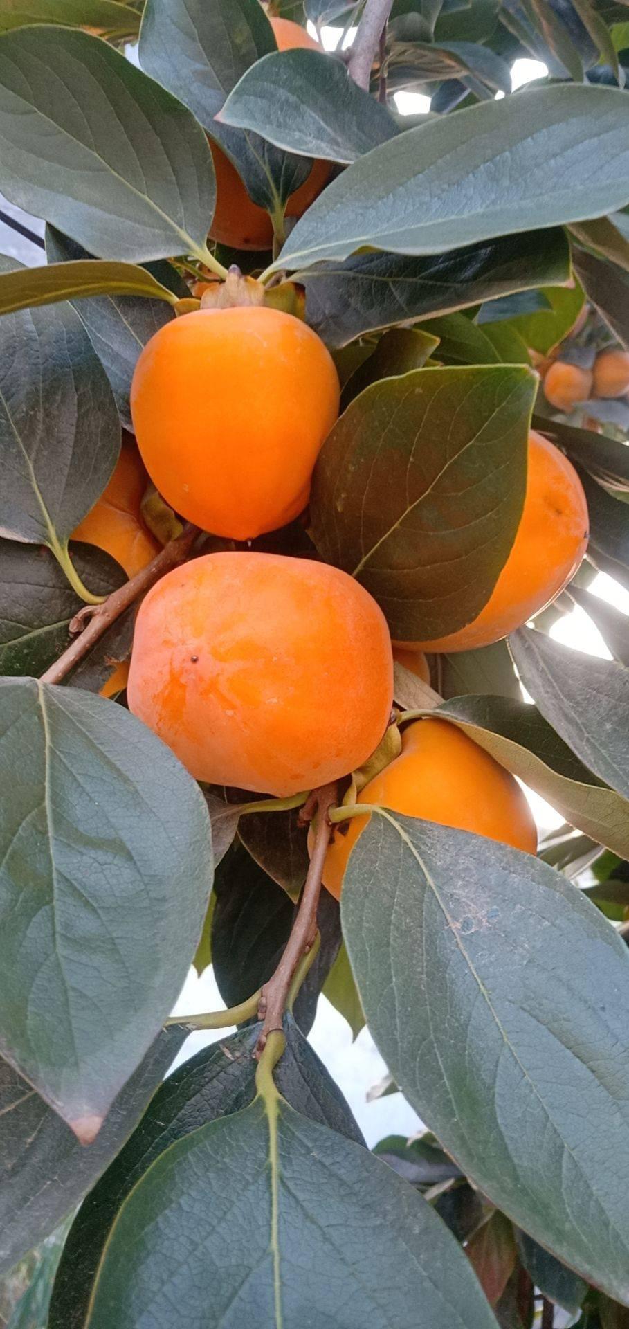 安徽省碭山縣牛心柿子大量上市中價格3毛歡迎前來采購