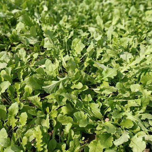 河南省商丘市梁园区 新鲜荠荠菜,基地种植,现挖现发 健康绿色食品