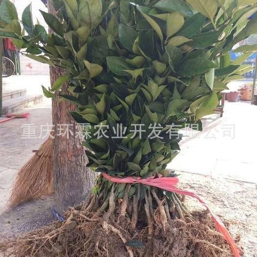 重庆江津 纽荷尔脐橙苗  品种保证 基地直销 根部保湿 24小时发货