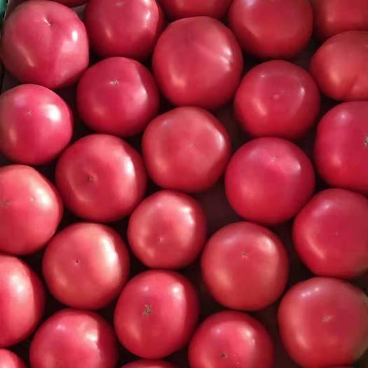 費縣 硬粉沙瓤精品西紅柿量大