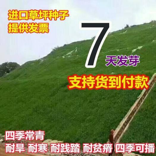 宿迁沭阳县早熟禾种子 早熟禾种 子早熟禾草坪种子 早熟禾草籽 四季青混播种子