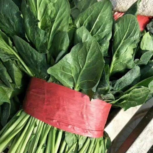 济宁金乡县 大叶菠菜上市了,产地直销,代发全国各地市场