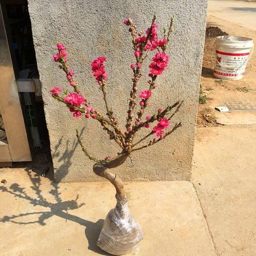 平邑縣桃梅 盆景壽桃  顏色有雙色花 粉色 玫紅色 大紅色 嫁接開花結果
