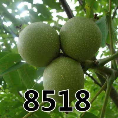 平邑县 嫁接核桃苗8518薄皮纸皮核桃树苗盆栽地栽南北方种植包邮