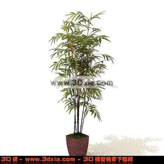 贵州省毕节市纳雍县青竹笋 长不大的小竹,盆栽林园