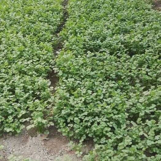 云南省昆明市宜良县 纯天然自种纯绿色波菜香菜(芜须)
