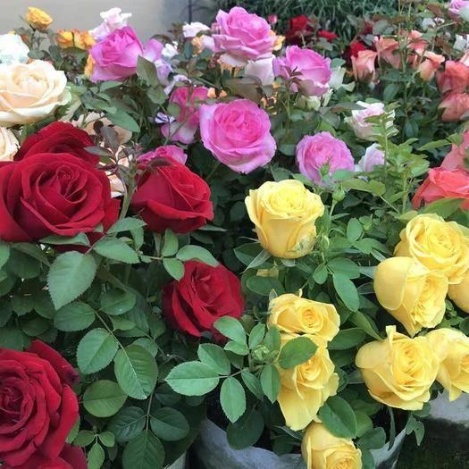 臨沂平邑縣 玫瑰花苗 多彩玫瑰 盆栽地栽基地現挖保證成活