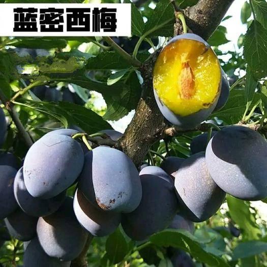 临沂平邑县 蓝密西梅苗 保纯度 包成活 基地自产自销 免费技术指导