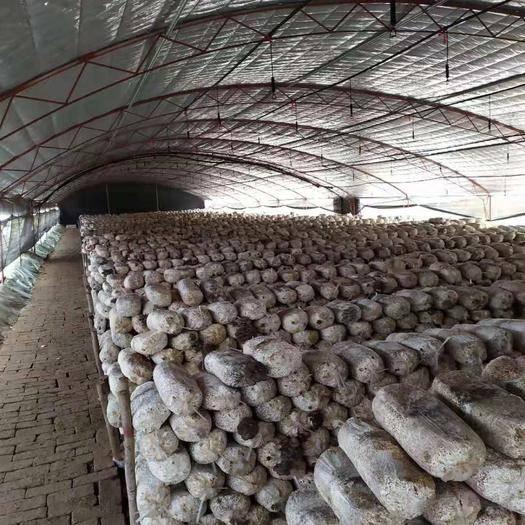 山东省聊城市东昌府区 蘑菇种植户
