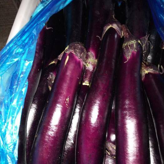 山东省聊城市东昌府区大龙茄子 紫把长红茄