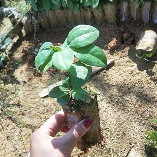 崇左江州区 高产白肉土茯苓苗,提供种植技术及回收
