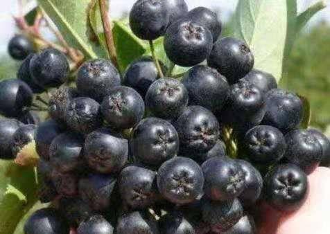 白山浑江区黑果花楸苗 黑果花楸种苗品种纯正适合大面积种植产量高