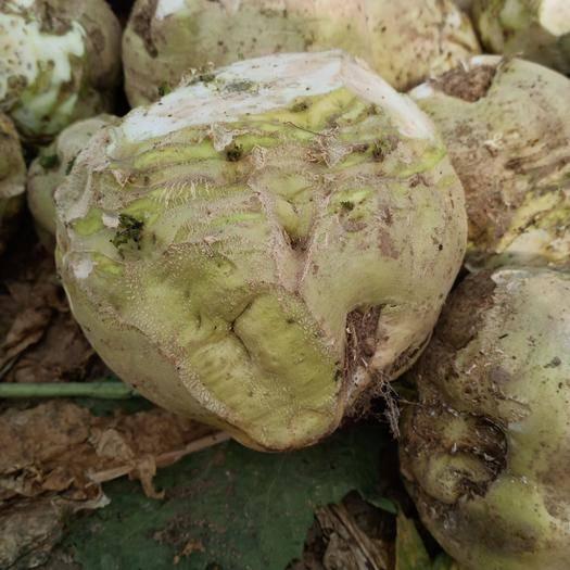 山东省菏泽市郓城县 三百亩芥菜疙瘩求出售