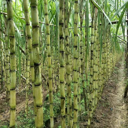廣州黑皮甘蔗 5 - 6cm 2.5 - 3m