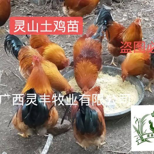 南宁西乡塘区 灵山土鸡苗 土1.5 土2【有经营许可证】买卖更放心灵丰公司