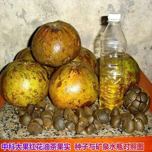 邵阳北塔区 油茶种子大果红花油茶种子白花油茶茶花山茶茶树种子油茶树籽