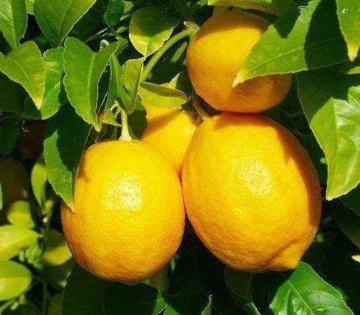 平邑县 香水柠檬苗 可盆栽地栽 优质一级苗 基地直供