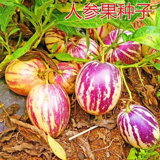 邵阳人心果种子 人参果种子稀有人参果种籽 特色水果种子 高产大面积南方北方种