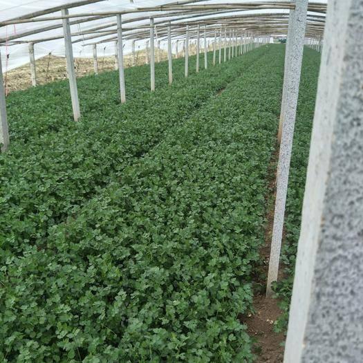 山东省潍坊市安丘市铁杆青香菜 35cm以上