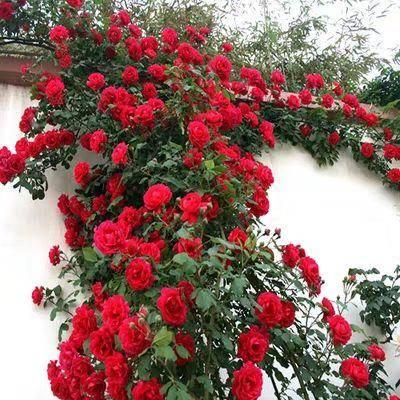 平邑县蔷薇苗 蔷薇花 爬藤蔷薇  庭院 阳台 楼宇 路边爬藤蔷薇