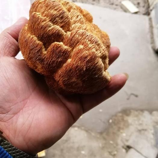 辽宁省沈阳市和平区 东北大猴头菇,一斤包邮