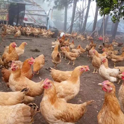 長沙長沙縣 蘇禽高山散養土雞,青年雞6-7雞群健康,無呼吸道。