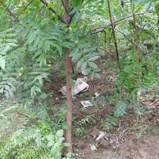 运城绛县文冠果树苗 3公分文冠果树 2公分文冠果树 3公分
