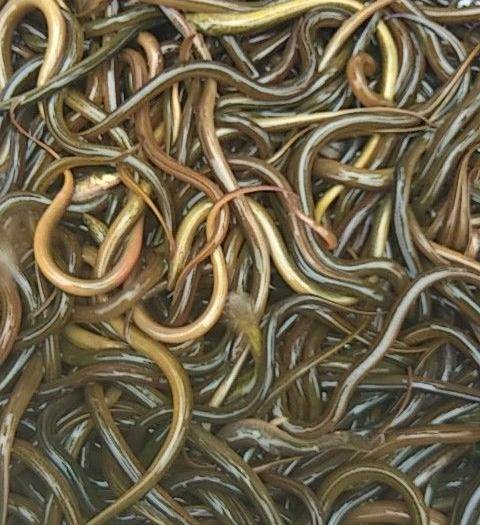安顺平坝区 黄鳝苗大量出售,送货上门,货到付款。