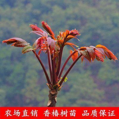临沂平邑县红油香椿苗 红油香椿树苗 南北地栽盆栽  鲜香美味 一级棒