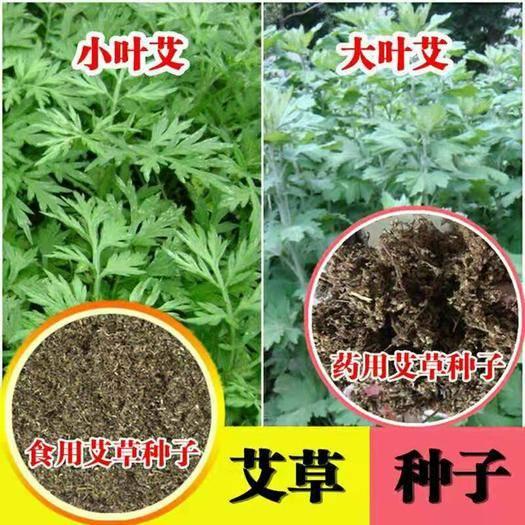 郑州中原区 艾草种子