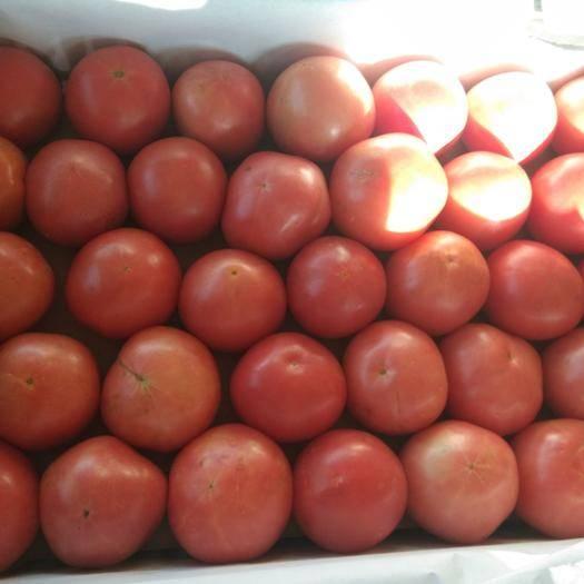 云南省楚雄彝族自治州元谋县硬粉番茄 上量了,