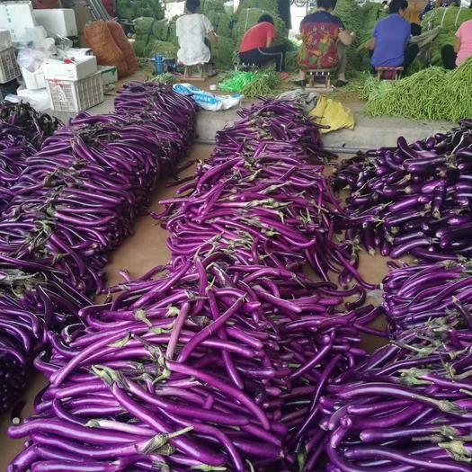 福建省漳州市平和县702茄子 20~30cm 长茄