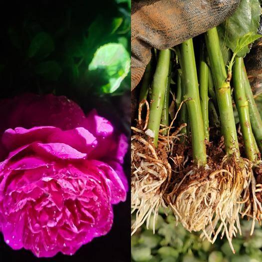 昆明 歐洲月季苗,玫瑰花苗,玫瑰月季苗