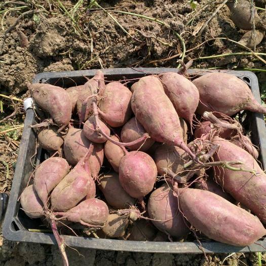 仙桃市 2019紫薯新鮮上市 批發價