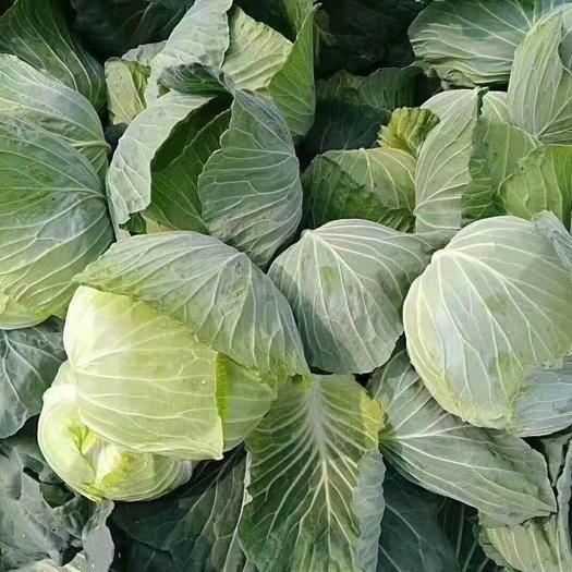 天门天门市旺旺甘蓝 1.5~2.0斤